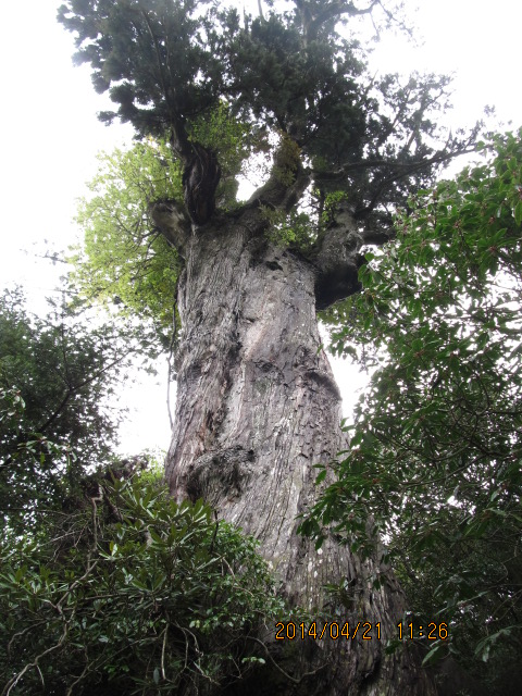 屋久島の川上杉
