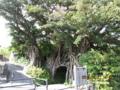 屋久島のガジュマル