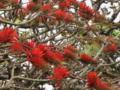 伊良部島のデイゴ花