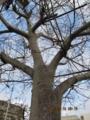 開南バス停のトックリキワタの大木