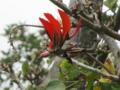 安慶名城跡のデイゴ花