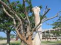 沖縄市県立総合運動場の枯れたデイゴ