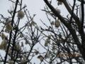 トックリキワタの木