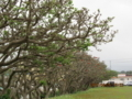 八重瀬町のデイゴ花並木