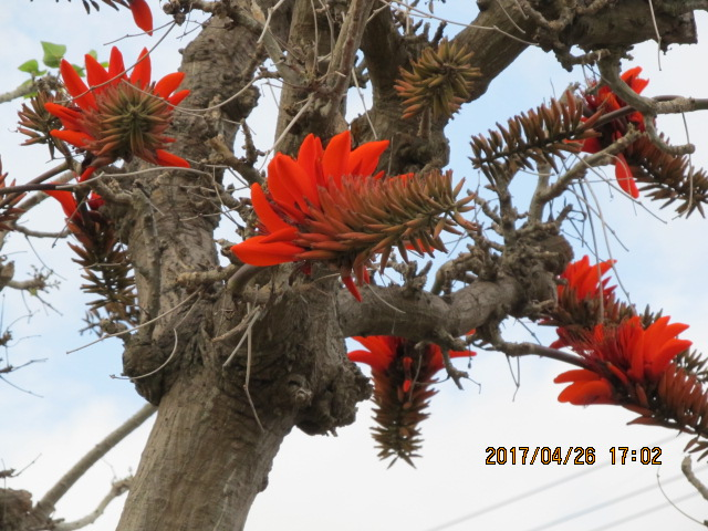熱田の国道沿いのデイゴ花