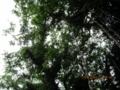 石川山城ウブガーガジュマル