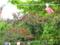 浜比嘉島のデイゴ