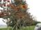 うるま市与那城庁舎のデイゴ並木