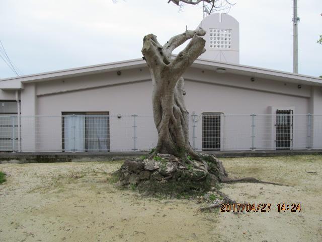 中城村伊舎堂三本ガジュマル