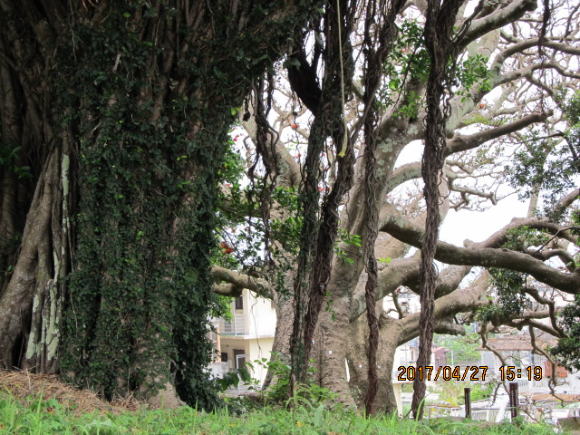 沖縄市与儀上殿のガジュマル
