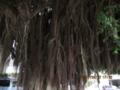 金武町公会堂前のガジュマル