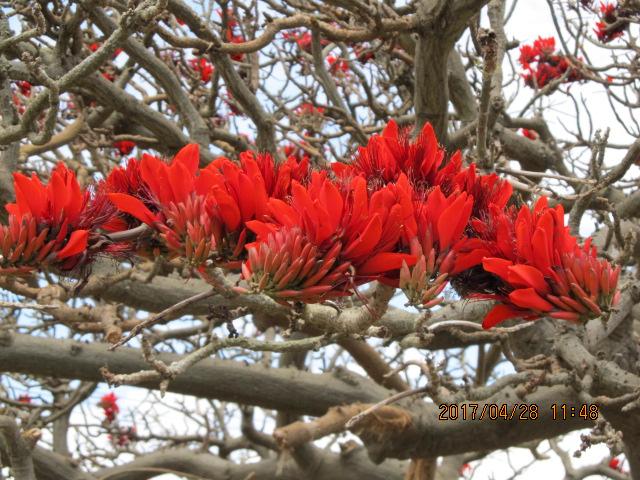 平敷の満開のデイゴ花