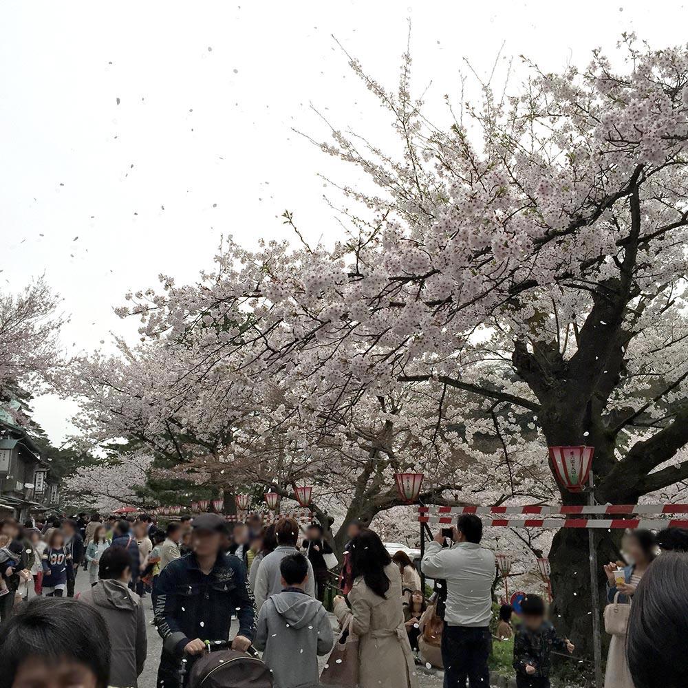 桜吹雪 兼六園