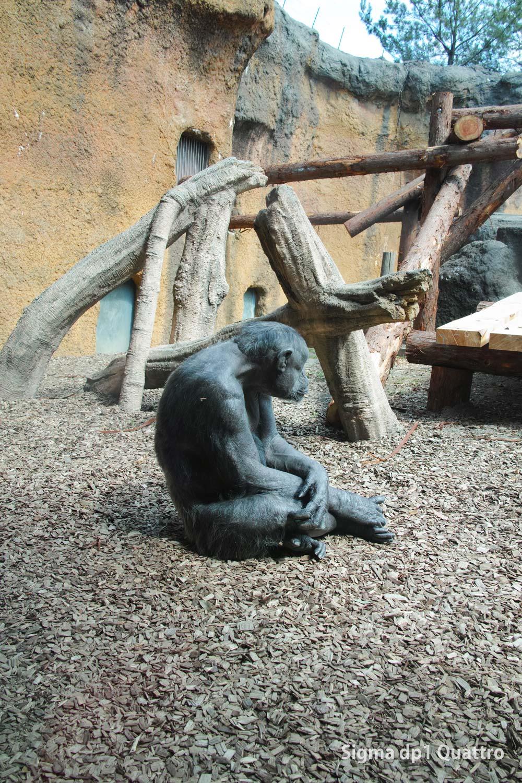 SIGMA dp1 Quattoro チンパンジー