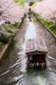 京都新聞写真コンテスト 桜川