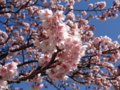 あたみ桜(熱海市)