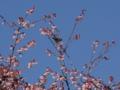 あたみ桜とメジロ(熱海市)
