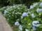 紫陽花(由利本荘市)