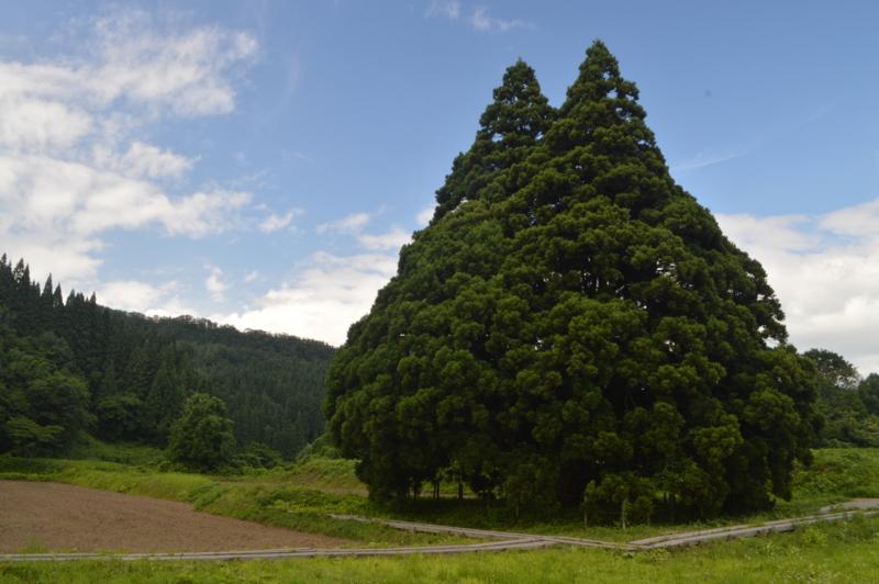 トトロの木(鮭川村)