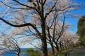 奥びわ湖 海津大崎の並木