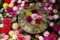 池にダリアやボタンの花が浮かびます