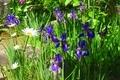 正定寺 境内に咲くシランやマーガレット