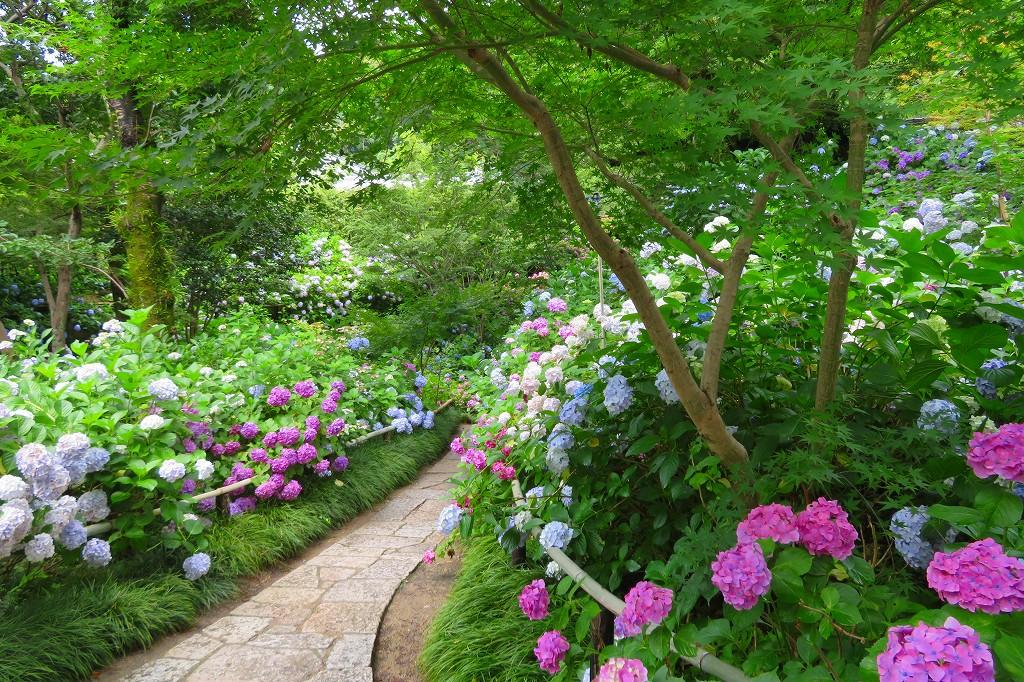 矢田寺 あじさい庭園