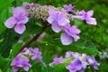 観音正寺 紫陽花が綺麗