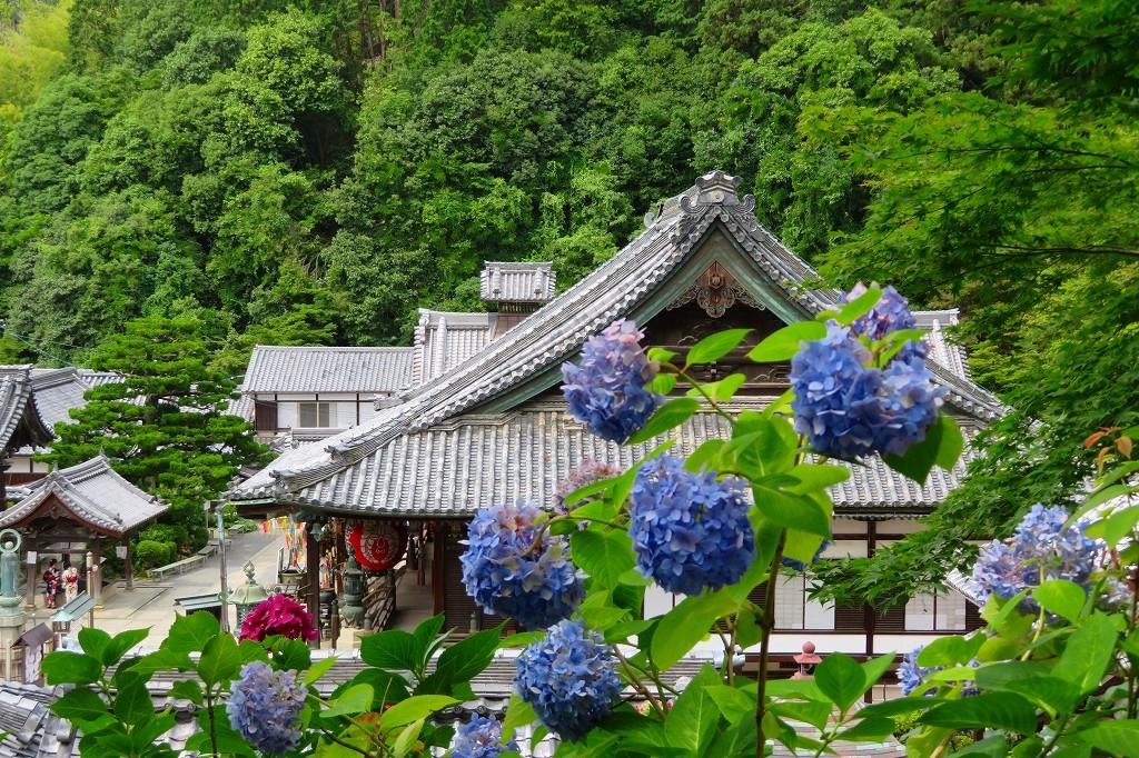 楊谷寺 紫陽花と本堂