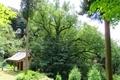 岩間寺 桂の巨木