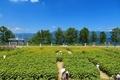 おいで野洲ひまわり迷路 目の前は琵琶湖