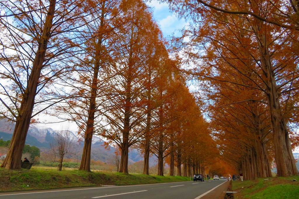 マキノ高原メタセコイアの並木
