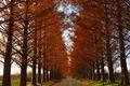 マキノ高原 メタセコイア並木