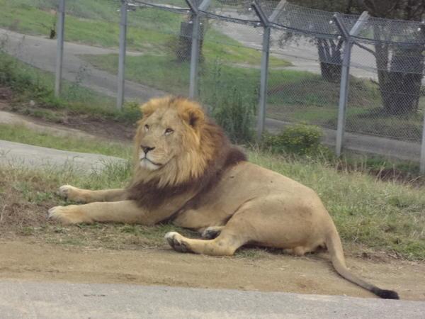サファリワールドのライオン
