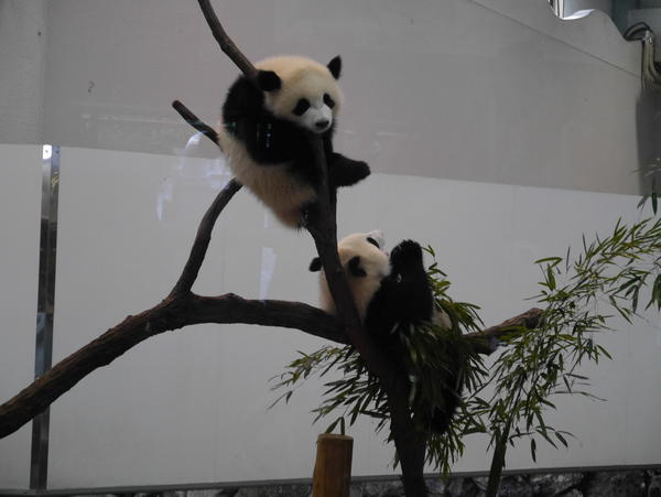 子供の双子パンダ