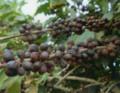 [コーヒー]完熟自然コーヒー