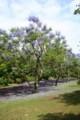 ジャカランタ木々2