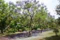ジャカランタ木々1