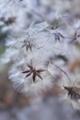 [ボタンヅル][キンポウゲ科][綿毛][種子][センニンソウ]ボタンヅル