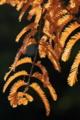 [メタセコイア][スギ科][アケボノスギ][巨樹][大木]メタセコイア
