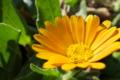 [ヒメキンセンカ][キク科][金盞花][ホンキンセンカ][黄色い花]ヒメキンセンカ