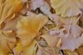 [銀杏][イチョウ][落ち葉][落葉][イチョウ並木]銀杏
