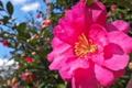 [山茶花][サザンカ][ツバキ科][ピンク色の花]山茶花