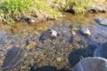 [後閑川][小川][清流][せせらぎ][碓氷川水系]後閑川