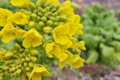 [白菜畑][ハクサイ畑][菜の花][ハクサイ][黄色い花]白菜畑