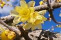 [蝋梅][ロウバイ][ろうばいの郷][ロウバイ科][庭先]蝋梅