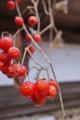 [ヒヨドリジョウゴ][ナス科][民家][庭先][赤い実]ヒヨドリジョウゴ