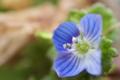 [オオイヌノフグリ][オオバコ科][農道][畦道][青い花]オオイヌノフグリ