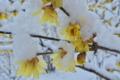 [蝋梅][ロウバイ][ろうばいの郷][大雪][積雪]蝋梅