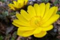 [フクジュソウ][キンポウゲ科][福寿草][山里][黄色い花]フクジュソウ